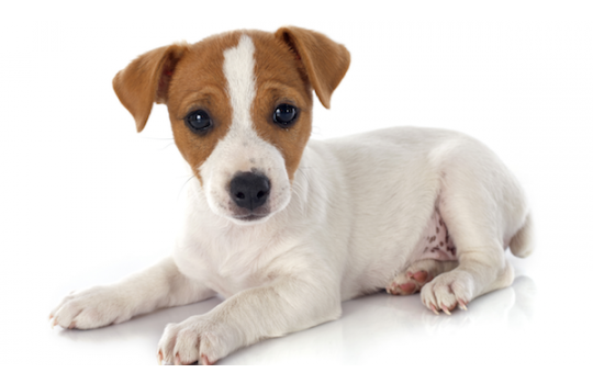 Starter Puppy / Puppy Mini